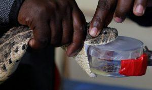 Peneliti Kenya Membuat Obat Penawar Bisa Ular Pertama di Afrika Timur