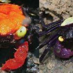 Dua Kepiting Spesies Baru yang hanya ada di Indonesia