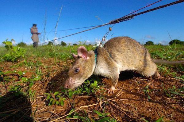 Tikus Pahlawan Mengendus Ranjau dan Menyelamatkan Nyawa
