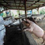 Demam babi Afrika membunuh hampir 30.000 Babi di Sumatra Utara